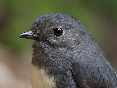 Robin (South Island)