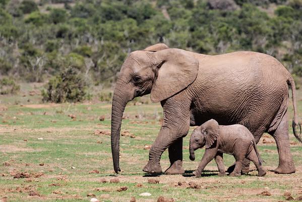 Elephant - Addo National Park