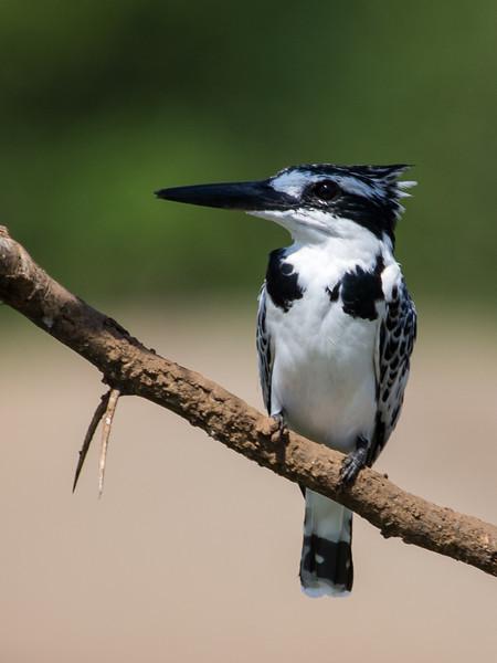 Pied Kingfisher, Kazinga Channel, Queen Elizabeth National Park