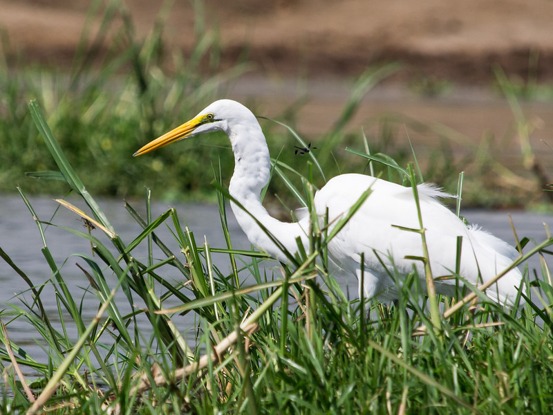 Great Egret, Kazinga Channel, Queen Elizabeth National Park