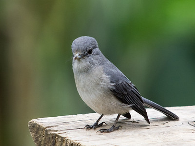 White-eyed Slaty Flycatcher (race w/o white eye-ring)