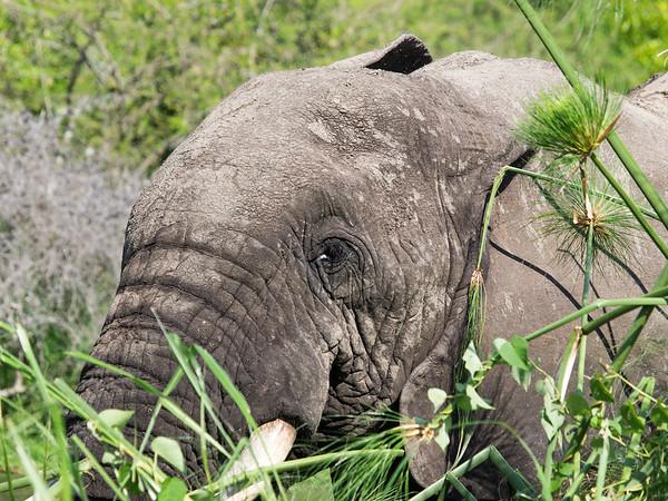 Elephant, Kazinga Channel, Queen Elizabeth National Park